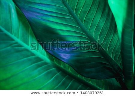 подробный · лист · изолированный · зеленый · лист · вена - Сток-фото © kjolak