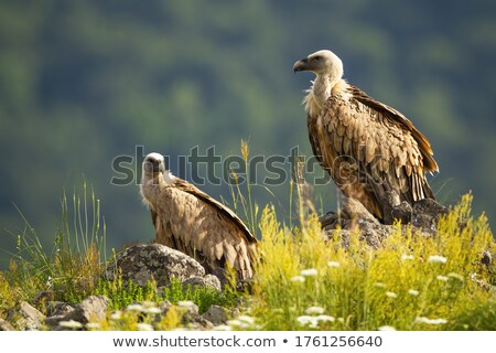 Vulture Perched on an Edge Stock photo © AlienCat