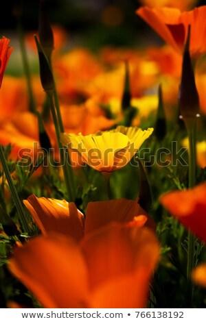 California poppy 20 Stock photo © LianeM