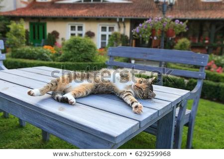 Bonitinho gato relaxante mesa de madeira jardim cara Foto stock © meinzahn