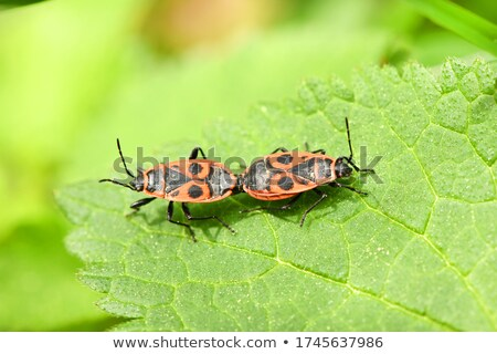 Pyrrhocoris apterus (red bug) on green plant. Stock photo © Leonardi