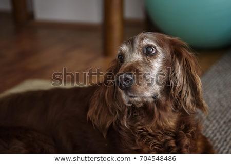 Adorable shetter dog in its wooden house Stock photo © lunamarina