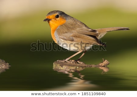 Robin at Dawn with copy space Stock photo © suerob