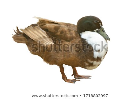female duck stock photo © cynoclub
