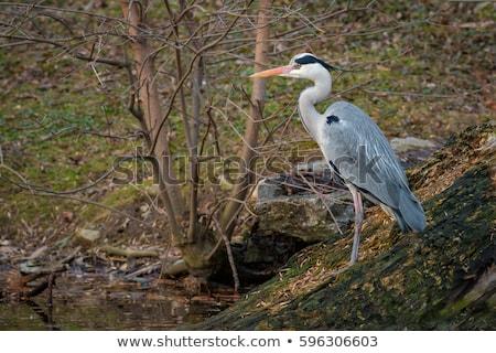 Gri balıkçıl oturma şube mavi gökyüzü kuş Stok fotoğraf © dirkr
