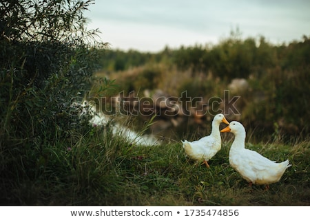 two geese Stock photo © Mikko