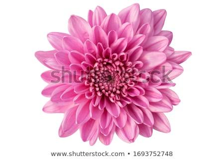 Rosa Chrysantheme Haufen Schönheit isoliert weiß Stock foto © zhekos