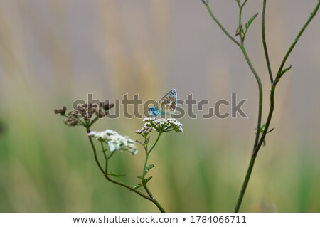 Foto d'archivio: Butterflies And Cow Parsley