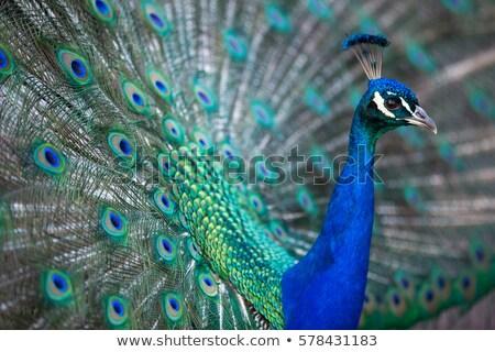 Splendid peacock (Pavo cristatus) Stock photo © lightpoet