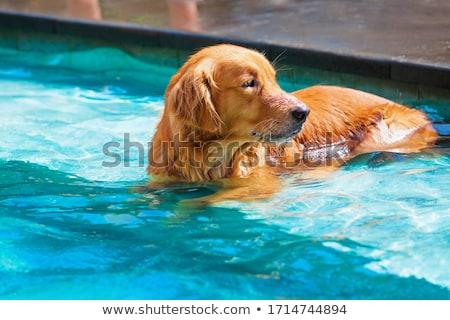 Kutyakölyök medence fekete labrador kívül úszómedence Stock fotó © JFJacobsz