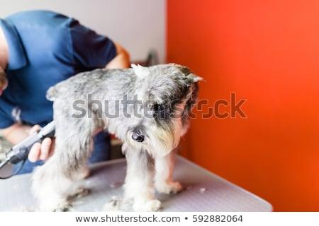 brushing the miniature schnauzer Stock photo © cynoclub