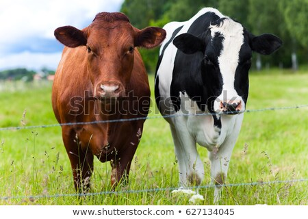 two cows in a meadow stock photo © epstock