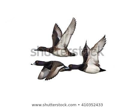 Pato natação lago água mar animal Foto stock © chris2766