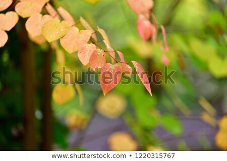 Judas tree in autumn  Stock photo © LianeM