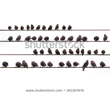A starling bird perched on a wire. Stock photo © latent