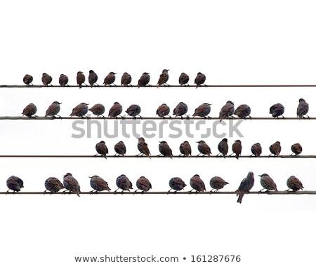 europeu · verde · fazenda · pena · retrato · preto - foto stock © latent