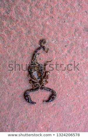 A deadly scorpion Stock photo © bluering