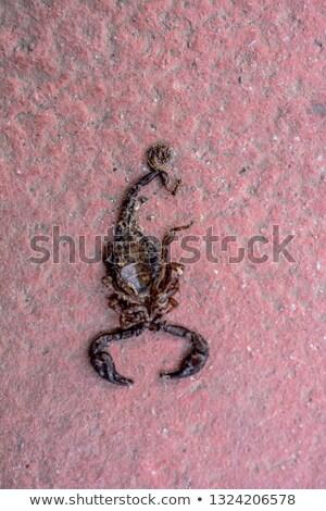 Escorpião ilustração branco fundo animal gráfico Foto stock © bluering