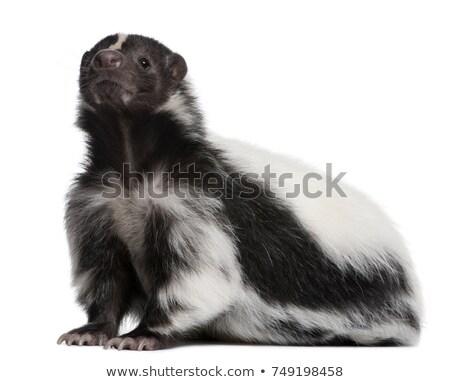 wild skunk on white background stock photo © bluering