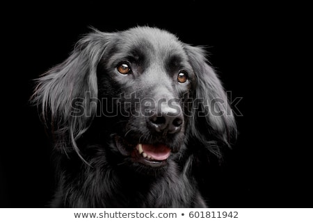 Stock photo: mixed breed black dog portrait in black background