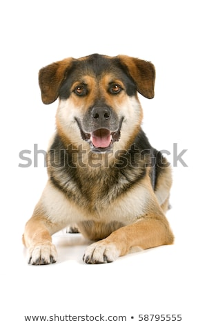brown and black mixed breed dog in a white studio stock photo © vauvau