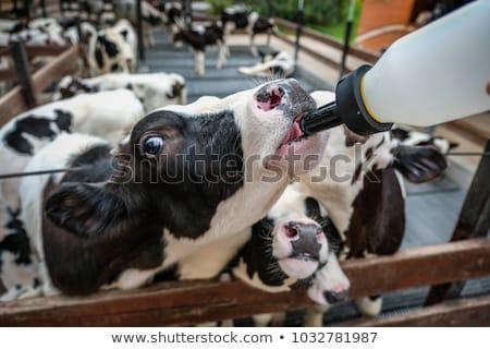 Genç boğa içme süt inek çim Stok fotoğraf © AvHeertum