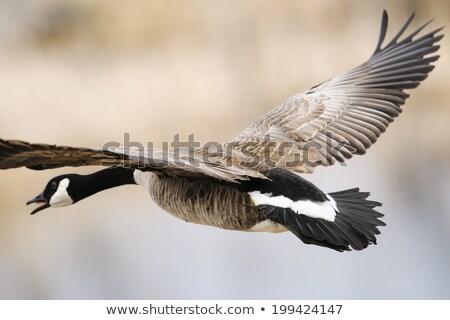 ギース · カナダ · ガチョウ · その他 · 自然 - ストックフォト © pictureguy
