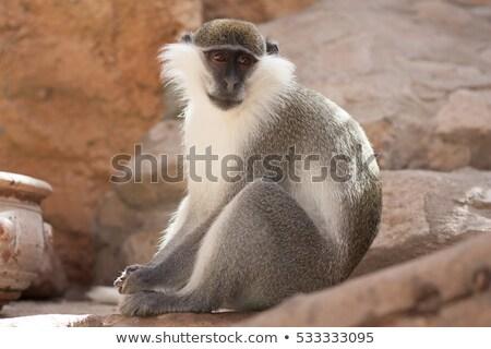 maymun · üç · monkeys · park · ağaç · yüz - stok fotoğraf © hermione