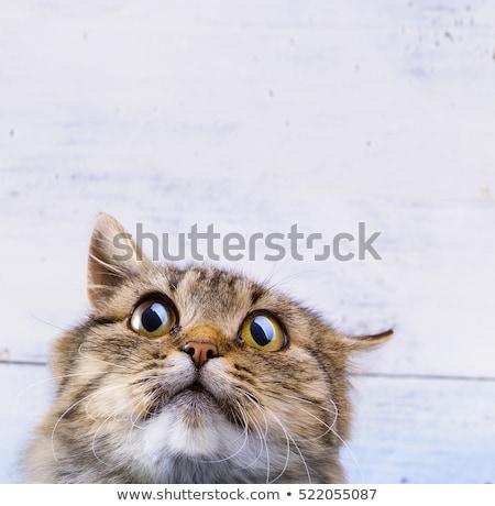 Spaventato sorpreso gatto grigio occhi bianco Foto d'archivio © Konstanttin