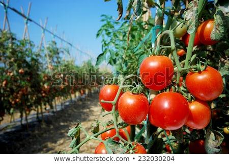maduro · tomates · isolado · branco · fruto · fundo - foto stock © mythja