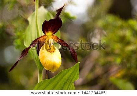 Orchidea hölgy közelkép portré női modell Stock fotó © mtoome