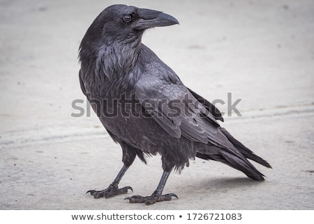 Stock photo: Portrait of black crow standing - common raven