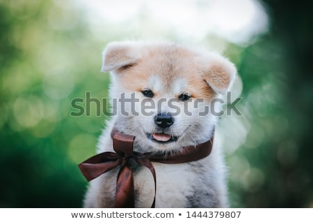 puppies akita inu Stock photo © cynoclub