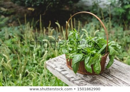 Vers basilicum kruid groeiend buiten pot Stockfoto © Juhku