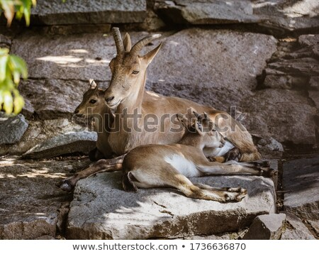 Capricorn lying on a rock Stock photo © manfredxy