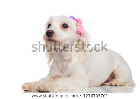 side view of curious bichon wearing flowers crown looking up Stock photo © feedough