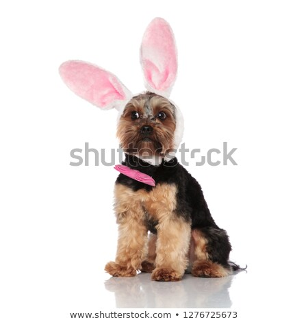 cute bunny yorkshire terrier with pink bowtie looks to side Stock photo © feedough