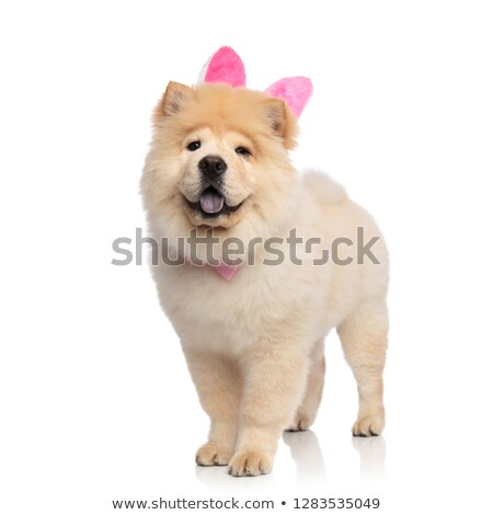 classy chow chow wearing pink rabbit ears standing Stock photo © feedough