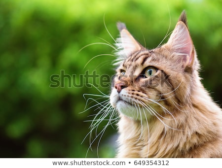 Stock photo: Black tabby maine coon cat