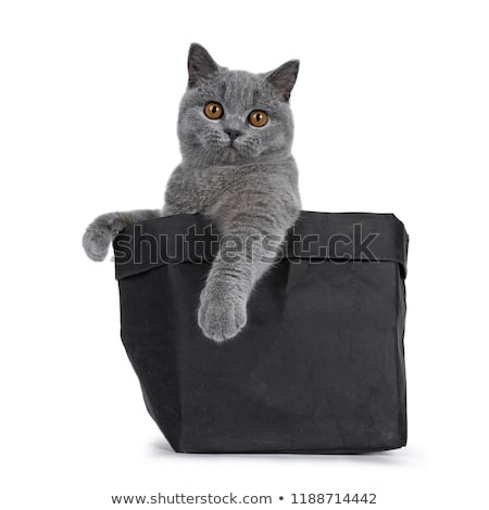 Handsome young solid blue British Shorthair cat, isolated on white background  Stock photo © CatchyImages