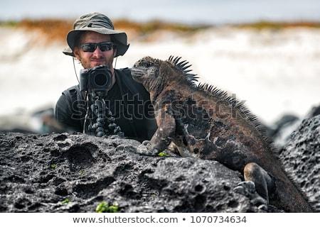 Galapagos Marine Iguana shaking and bobbing its head on Isabela Island Stock photo © Maridav