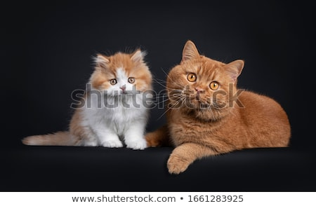Duo British Shorthair kittens on black Stock photo © CatchyImages