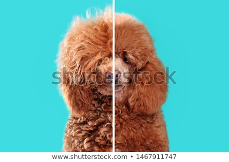Dog after grooming Stock photo © tilo