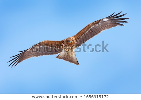 Yellow-billed Black Kite Stock photo © suerob