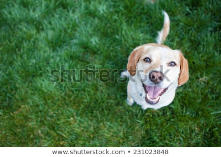 Beagle сидят зеленая трава собака зеленый луговой Сток-фото © pkirillov