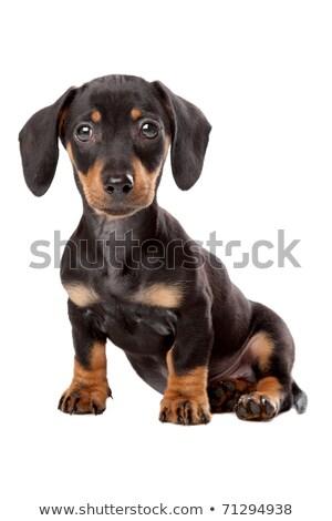 臘腸 · 小狗 · 白 · 年輕 · 動物 · 工作室 - 商業照片 © eriklam