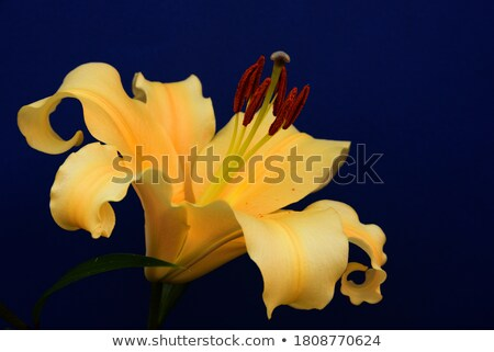 Background of yellow and white flowers Stock photo © boroda