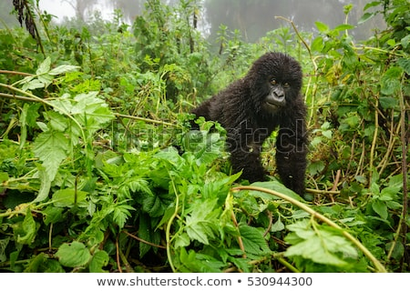 Young mountain gorilla in deep forest Stock photo © ajlber