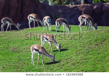A male impala in Ngorongoro crater, Tanzania, Africa. Stock photo © photocreo