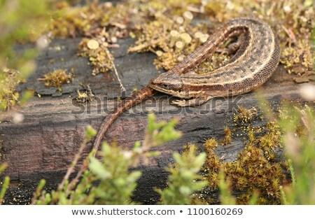 トカゲ 草 生活 動物 規模 美しい ストックフォト © joseph73